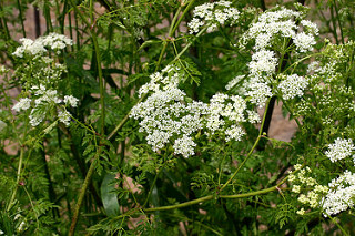 Poison hemlock is found in wetlands across the nation. Courtesy of Oregon Department of Agriculture, Flickr.