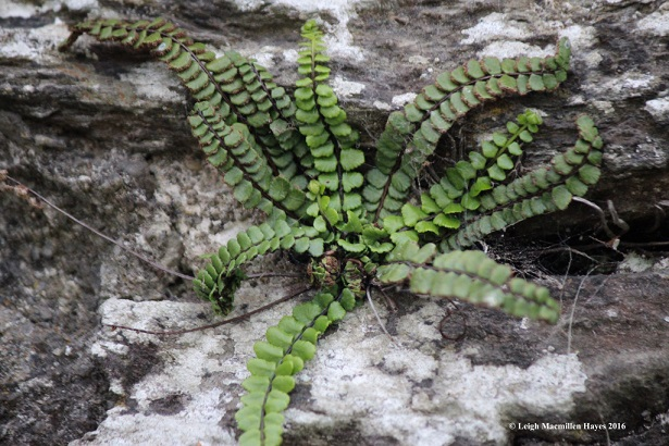 Maidenhair-spleenwort