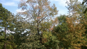 large oak tree losing leaves