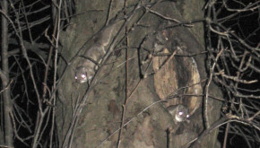 Southern Flying Squirrels - USDA Forest Service image