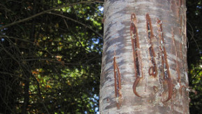 Bear claw marks on the Schenk Tree Farm