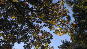 image of oak tree canopy taken from the ground and looking upwards to the sky