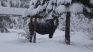 Idaho moose in a snowy forest