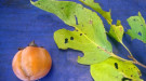 Persimmon fruit and leaves