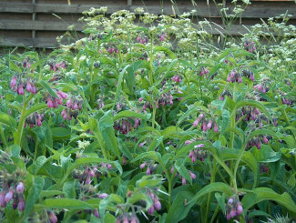 Comfrey has many medicinal qualities. Courtesy of Anneli Salo.