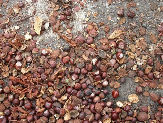 Chestnuts accumulated on a Portland sidewalk.