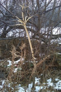 Porcupine damage in Minnesota