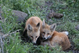 Fox pups. Photo by Mark Penninger, US Forest Service