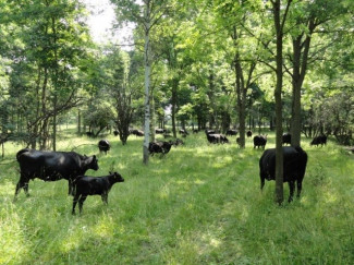 Cattle eat grass in an open forest or silvopasture system.