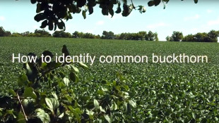 How to ID Buckthorn