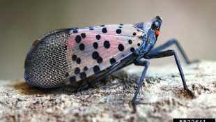 Spotted lanternfly - an invasive planthopper affecting agriculture and forestry (Photo by Lawrence Barringer, PA Dept. of Agriculture, bugwood.org)