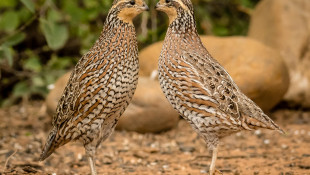 Northern Bobwhites. Photo: Cheryl Johnson/Audubon Photography Awards